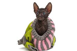 Cornish Rex in a sweater