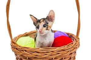 Little kitten Cornish Rex
