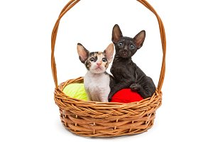 Two little kittens Cornish Rex