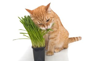 Red cat and green grass