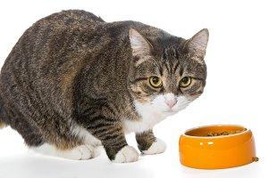 Grey cat eats dry food