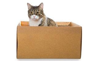 Big grey cat sitting in a box
