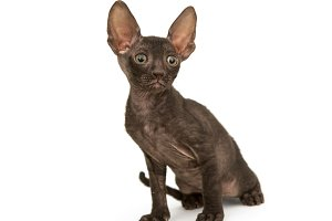 Small kitten brown Cornish Rex