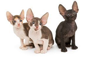 Three kittens the breed Cornish Rex