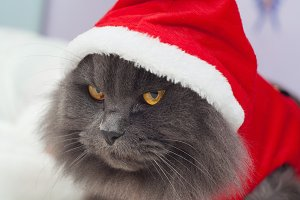 Beautiful gray cat with a Santa suit