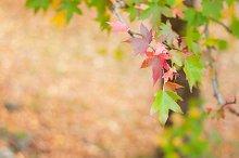 Liquidambar or sweetgum tree branch
