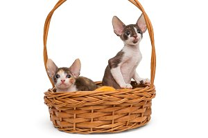 Kittens the breed Cornish Rex