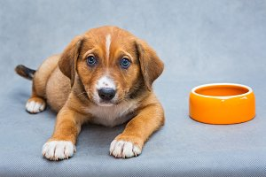 Red puppy with a bowl