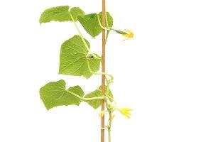Seedlings of cucumbers