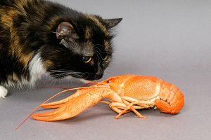 cat examines a Crayfish