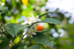 Flowering branch tangerine