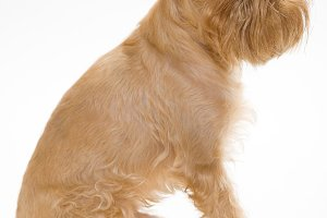 puppy of the Griffon Bruxellois