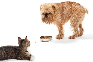 Kitten and puppy share food