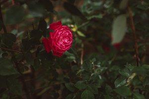 Dark, romantic and moody rose