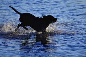 Dog silhouette splashing in water