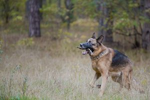 A Dog Male - German shepherd walking in autumn forest - playing with its stick