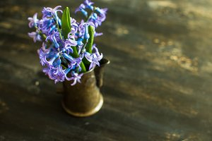 Spring concept with blue hyacinth