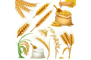 Wheat, barley, oat and rice. Vector