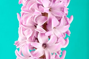 Lilac hyacinth flower close-up on a green background