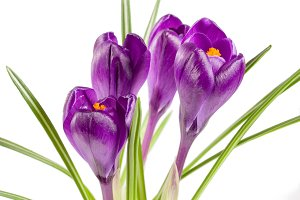 Crocus flowers isolated on white background closeup