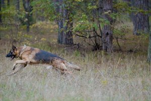 German shepherd dog running in the autumn forest