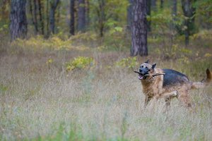 Pet playing with wood stick - German shepherd dog in the autumn forest