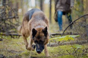 Pet in the autumn forest - German shepherd dog