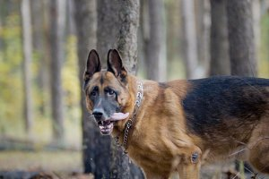 Big dog - german shepherd - pet in the autumn forest