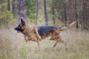 Big german shepherd dog - pet in the autumn forest