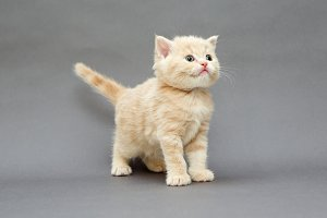 British kitten beige