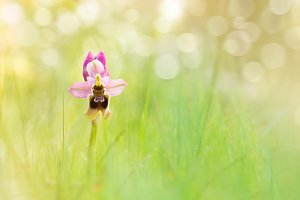 Ophrys tenthredinifera, Wild Orchid