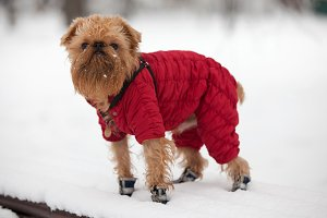 Dog griffon walks in the winter