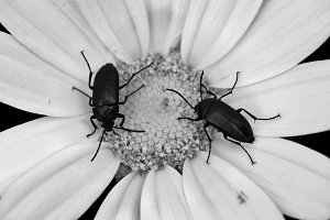 Beetles On Flower