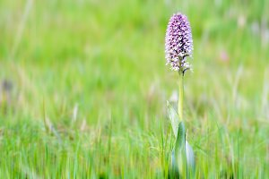Orchis conica, Wild Orchid