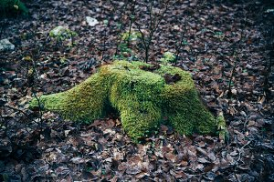 Tree stump with Rock Moss