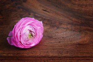 Single Pink Ranunculus