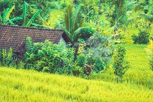 Hut in Lush green Rice tarrace in Sidemen, Bali, Indonesia