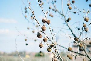 bombons tree
