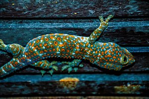 Wild Tokay Gecko on ceiling at night, Koh Kood. Thailand