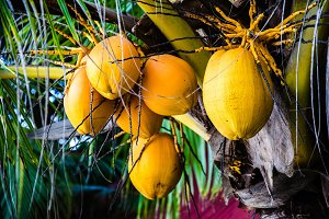 Close up coconut tree with bunch of yellow fruits hanging