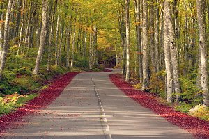 Country road in a beech tree forest
