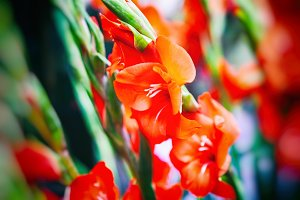 Red gladioluses