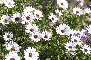 White and violet daisies
