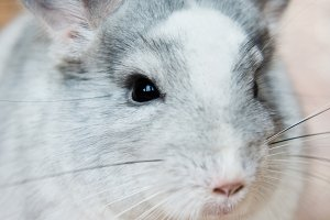 Funny face domestic chinchilla portrait