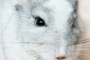 Funny face domestic chinchilla eating seeds