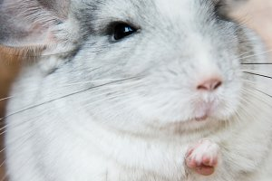 Cute domestic chinchilla holding food with arms