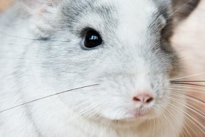 Adorable domestic chinchilla holding food with arms