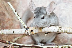 Beautiful domestic chinchilla sits leaning on branch