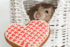 Funny face fancy rat with a heart shape biscuit