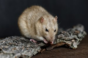 Grey fancy rat eating nut on dark background